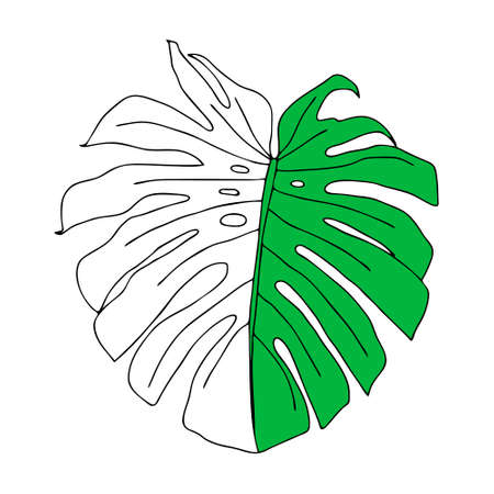 An Illustration of a green leaf monstera isolated on a white background