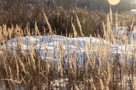 The orange dry grass with frost on the top is on a beautiful blur background with bokeh light in winter