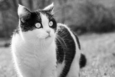 The beautiful adult young black and white cat with big eyes is in the garden in summer Archivio Fotografico