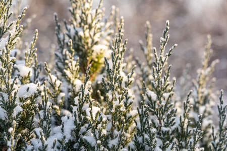 The green juniper branches covered with white fluffy snow are in winter day in the forest Archivio Fotografico