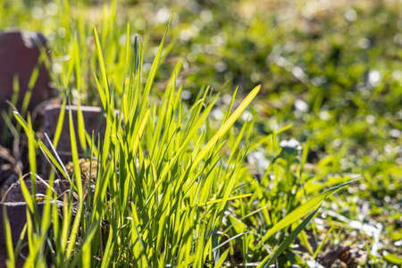 A Beautiful horizontal photo of green Creeping Wild Rye grass is in summer