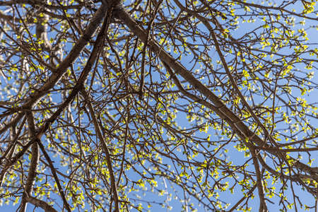 The Apple branches with green fresh leaves and buds is on a blurred background in a park in spring on the blue sky background Archivio Fotografico