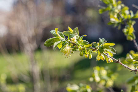 The wild honeysuckle branches with green fresh leaves and yellow buds and flowers are on a blurred background in a garden in spring