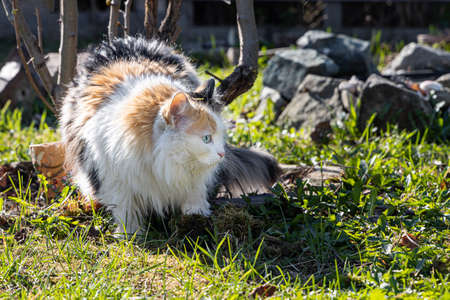 A Beautiful adult long hair black white and red cat with big blue eyes is on the green grass in sunny summer day Archivio Fotografico