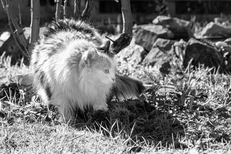 A Beautiful adult long hair black and white cat with big eyes is on the grass in sunny summer day Archivio Fotografico
