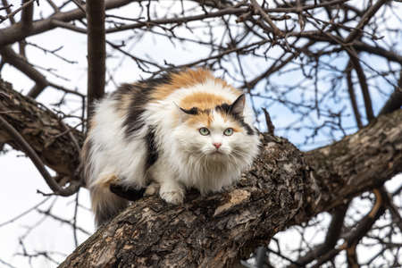 A beautiful adult long hair black white and red cat with big blue eyes scrambles on a tree Archivio Fotografico