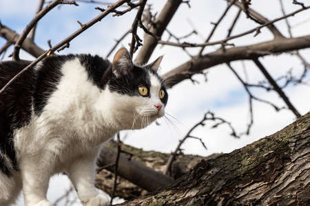 A beautiful adult young black and white cat with big yellow eyes scrambles on a tree in the garden in autumn
