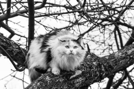 A Beautiful adult long hair black and white cat with big eyes scrambles on a tree in spring Archivio Fotografico