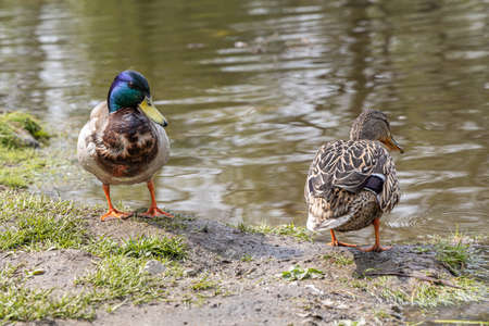 A Pair of gray and Brown adult ducks with yellow nose are by a pond in the park in summer
