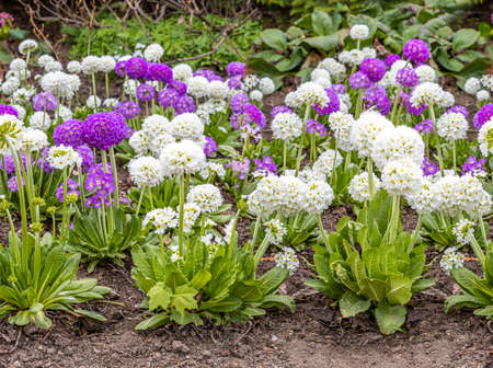 The Seamless pattern border of White and violet round Primrose flowers with beautiful green leaves bloom in spring in the garden