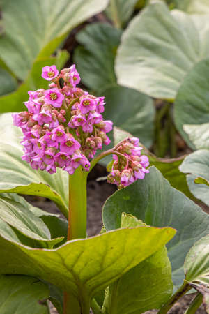 The Pink bergenia flowers with beautiful green leaves bloom in spring in the garden. Vertical Archivio Fotografico
