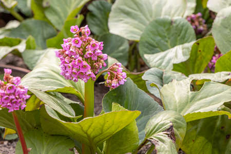 The Pink bergenia flowers with beautiful green leaves bloom in spring in the garden