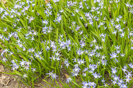 The Blue scilla flowers with beautiful green leaves bloom in spring in the garden