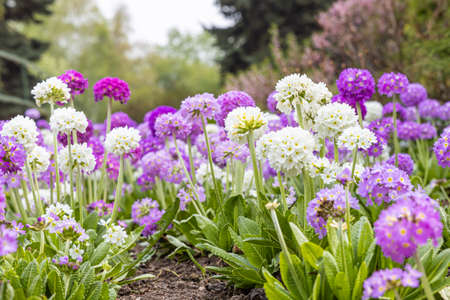 The White and violet round Primrose flowers with beautiful green leaves bloom in spring in the garden
