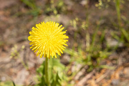 One yellow dandelion head is on a beautiful blurred orange background