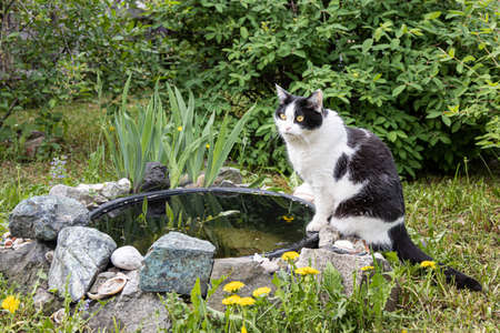 The beautiful adult young black and white cat with big yellow eyes is by a plastic pond in the garden in summer