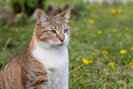 The beautiful adult fat tabby cat with blue eyes and a white spot on their chest sits in the garden in summer