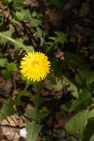 A yellow dandelion head is on a beautiful blurred orange background. Vertical
