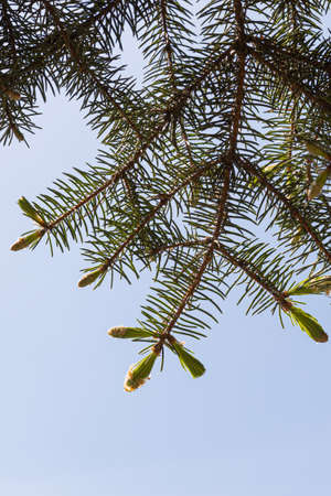 A Branch of green fir tree with young needles is on a blue sky background for Christmas decoration. Vertical Archivio Fotografico