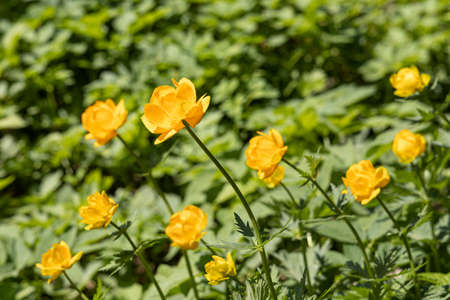 The A group of yellow Trollius flowers with green leaves is in the summer forest Archivio Fotografico
