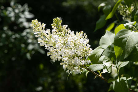 A branch of white lilac with green leaves and buds blooms on a green blurred background in summer