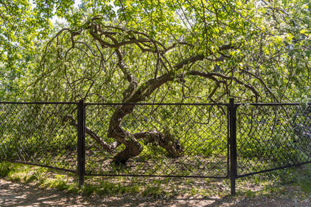The Brown branchy rowan tree with fresh green leaves is behind a metal fence in the park in spring