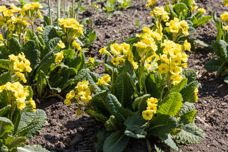 The yellow Primrose flowers with beautiful green leaves bloom in spring in the garden Archivio Fotografico