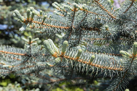 A Branch of blue fir tree with orange young cones is on a green background for Christmas decoration