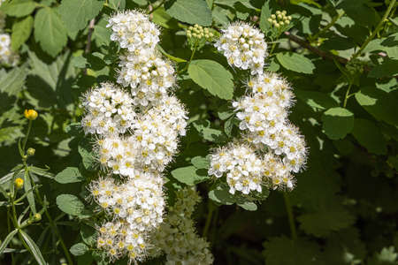A Branch of ninebark tree with white flowers and green leaves and buds blooms on a green blurred background in summer