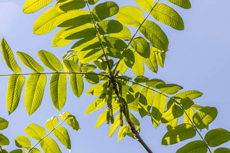 A Beautiful young small branchy Jaspidea tree with fresh green leaves on the blue sky background in a park in summer