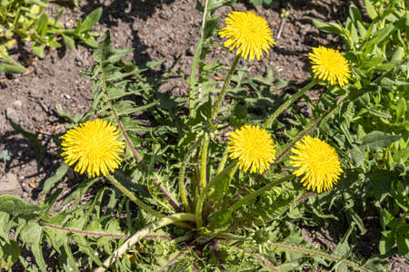 The group of yellow dandelion heads with green leaves is by a gray stones in the summer garden