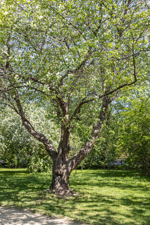 A Bird cherry tree or Latin Prunus maackii also Padus maackii with white flowers and green leaves blooms in sunny spring day in the park. Vertical