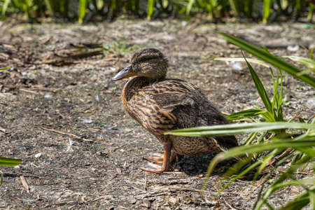 A Brown little duck is in the summer park by a pond