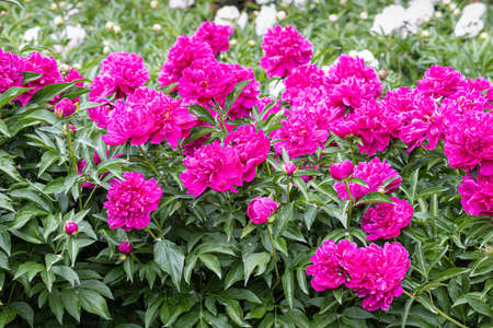 The Pink and white Peony flowers with beautiful green leaves bloom in summer in the garden