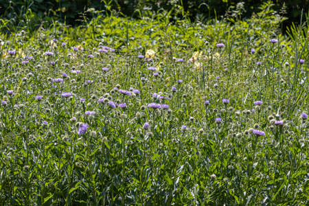 The Blue fleabane flowers with beautiful green leaves bloom in spring in the garden