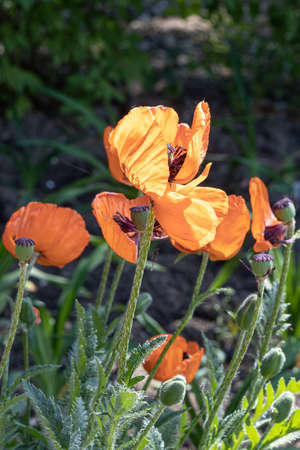 The Orange poppy flowers with beautiful green leaves bloom in summer in the garden on the dark background. Vertical photo