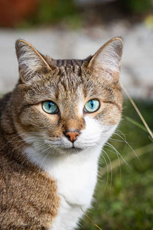 The beautiful adult fat tabby cat with blue eyes and a white spot on their chest sits in the garden in summer. Vertical photo