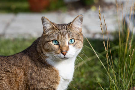 A beautiful adult fat tabby cat with blue eyes and a white spot on their chest sits in the garden in summer