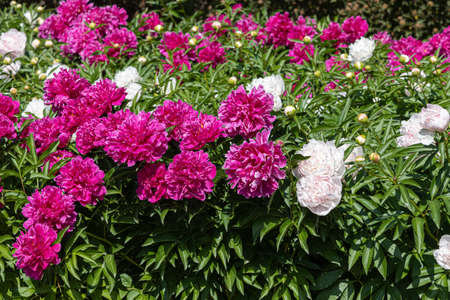 Pink and white Peony flowers with beautiful green leaves bloom in summer in the garden Archivio Fotografico