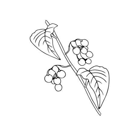 Black outline hand drawing vector illustration of a nightshade plant with fruits isolated on a white background