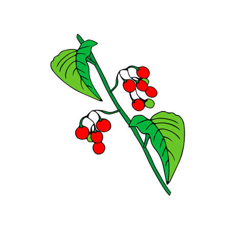 Colored outline hand drawing vector illustration of a nightshade plant with red and green fruits isolated on a white background