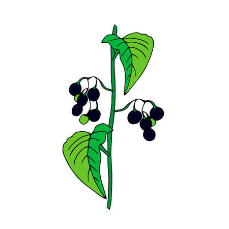 Colored outline hand drawing vector illustration of a nightshade plant with black and green fruits isolated on a white background Vettoriali