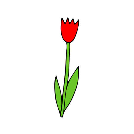 A Colored red Vector illustration of a tulip flower with green leaves isolated on a white background
