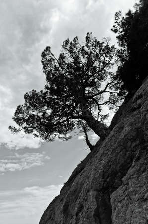 cleft: Silhouette pine tree on the rock