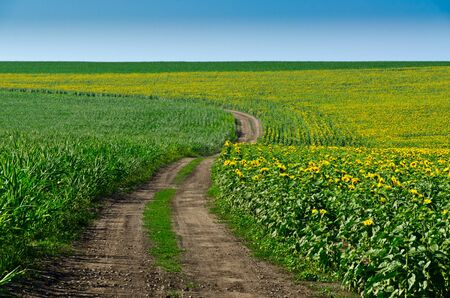 Road in a field of sunflowers photo