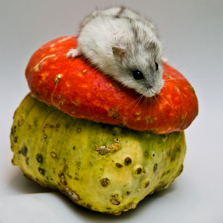 A gray and white Jungar hamster get down on unusual bright pumpkin photo