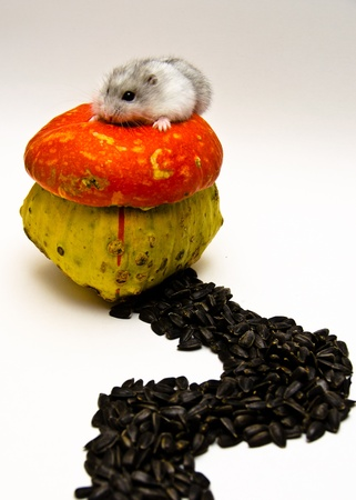A gray and white Jungar hamster on unusual bright pumpkin with sunflower seeds road Stock Photo