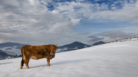 male bull: Cow on the snow at the top of mountain under the clouds