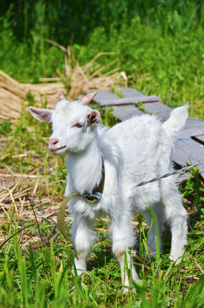 goat baby on the green grass photo