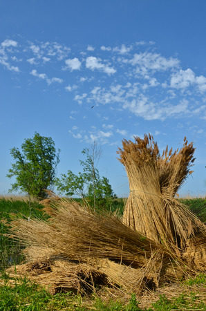 Cane rick bundle at blue sky background
